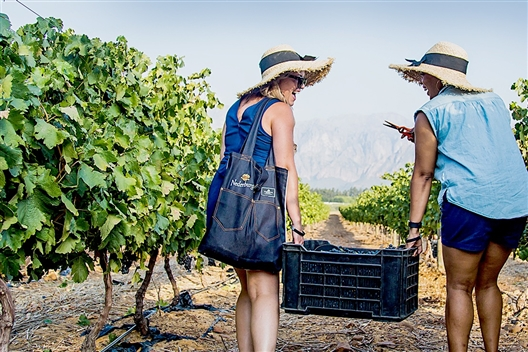 Celebrate The 2020 Wine Grape Harvest At Dusk With Nederburg